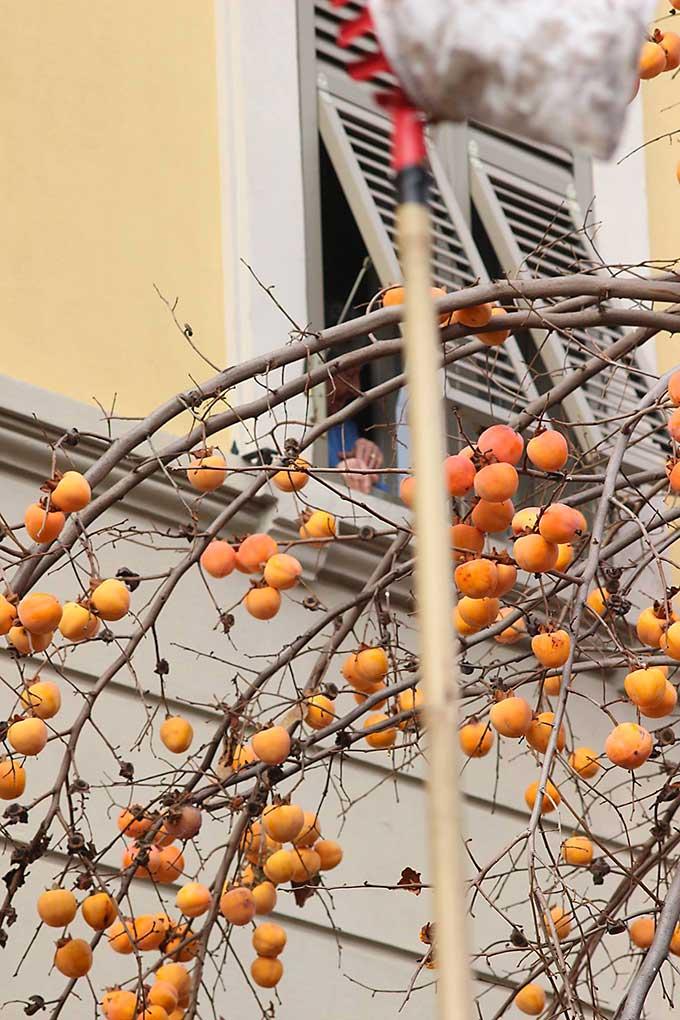 Raccogliere I Cachi A Parma